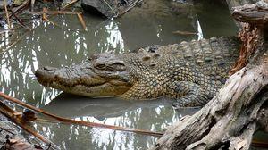 Превью обои крокодил, грязь, вода, плавать, бревна