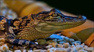 Превью обои крокодил, маленький, морда, окрас, пятнистый, камни