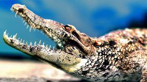Превью обои крокодил, морда, оскал, хищник, зубы