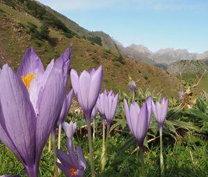 Превью обои крокусы, цветы, фиолетовый, растения, горы