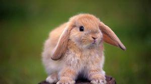 Превью обои кролик, пенек, уши, красивый