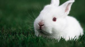 Превью обои кролик, трава, белый, морда
