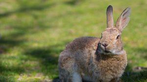 Превью обои кролик, трава, уши, тень