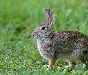 Превью обои кролик, животное, милый, трава