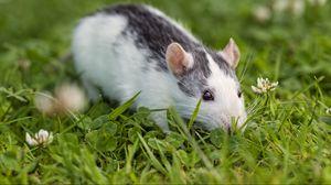 Превью обои крыса, грызун, глаза, трава, клевер