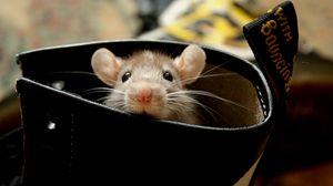 Превью обои крыса, хомяк, грызун, уши, лазать