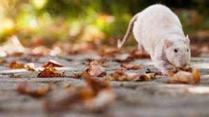 Превью обои крыса, листва, осень
