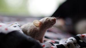 Превью обои крыса, тень, грызун, лазать
