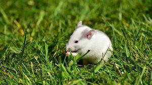 Превью обои крыса, трава, прогулка, грызун
