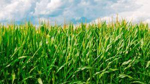 Превью обои кукуруза, поле, лето, ферма