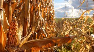Превью обои кукуруза, сельское хозяйство, поле, початки, ботва, желтая
