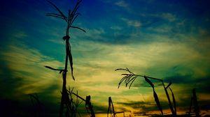 Превью обои кукуруза, стебель, очертания, вечер, небо
