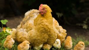 Превью обои курица, цыплята, прогулка, детеныши, птицы