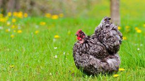 Превью обои курица, поле, трава, цветы