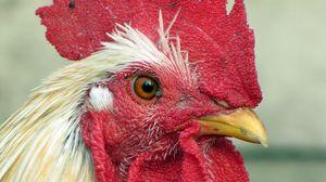 Превью обои курица, птица, гребешок, клюв