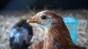 Превью обои курица, птица, клюв, перья