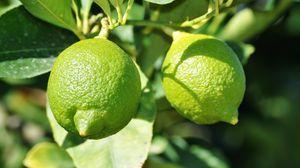 Превью обои лайм, фрукт, цитрус, ветки