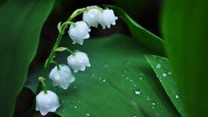 Превью обои ландыш, цветок, колокольчик, капли, роса, утро, листья