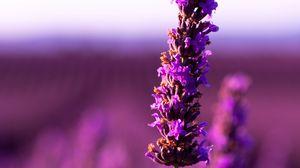 Превью обои лаванда, цветок, фиолетовый, соцветие, размытость