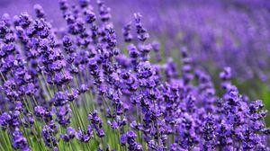 Превью обои лаванда, цветок, фиолетовый, цветение