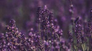 Превью обои лаванда, цветы, поле, фиолетовый, цветение