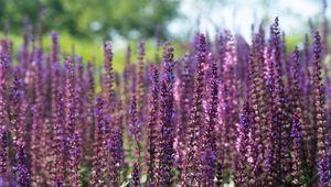 Превью обои лаванда, цветы, растение, поле, фиолетовый, макро