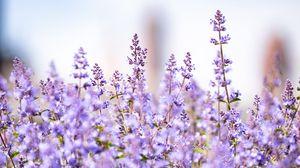 Превью обои лаванда, цветы, растения, поле, фиолетовый