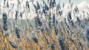 Превью обои лаванда, цветы, синий, поле