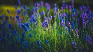 Превью обои лаванда, цветы, цветение, весна, трава