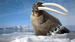 Превью обои лед, бивни, морж, гора, брызги