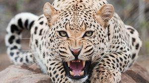 Превью обои леопард, хищник, морда, оскал, агрессия