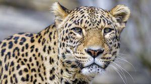 Превью обои леопард, взгляд, животное, хищник