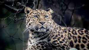 Превью обои леопард, взгляд, грусть, хищник, морда