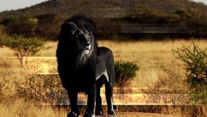 Превью обои лев, черный лев, грива, камень