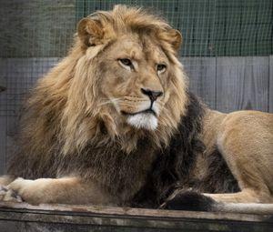 Превью обои лев, хищник, взгляд, большая кошка