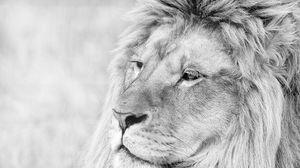 Превью обои лев, морда, грива, взгляд, хищник, чб