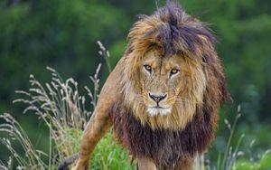 Превью обои лев, взгляд, хищник, большая кошка