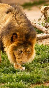 Превью обои лев, животное, грива, дикая природа
