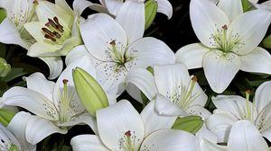 Превью обои лилии, бутоны, белоснежные, много