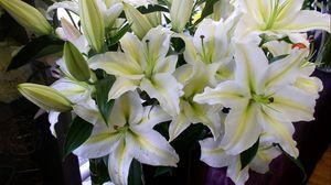 Превью обои лилии, цветы, белоснежные, букет, бутоны