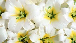Превью обои лилии, цветы, белые, тычинки, крупный план