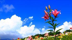Превью обои лилии, цветы, поляна, небо, солнечно, позитив