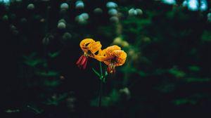 Превью обои лилии, цветы, блики