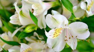 Превью обои лилии, цветы, лепестки, бутоны, флора