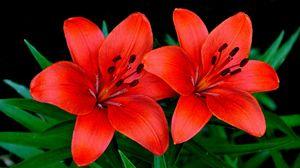 Превью обои лилии, цветы, пара, лепестки