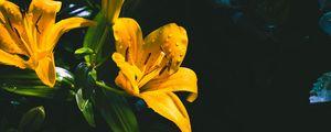 Превью обои лилия, цветок, желтый, мокрый, капли