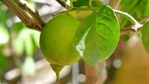 Превью обои лимон, цитрус, фрукт, листья, ветка, макро, зеленый