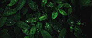 Превью обои листья, капли, роса, растение, влага, темный