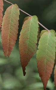 Превью обои листья, ветка, макро, осень