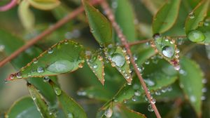 Превью обои листья, ветки, капли, макро, растение